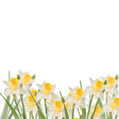 Postcard with fresh narcissus — Stock Photo