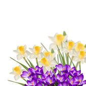 Postcard with fresh flowers narcissus and crocuses — Stock Photo