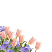 Postcard with fresh flowers tulips and periwinkle — Stock Photo