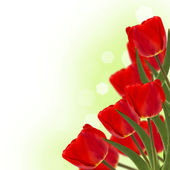 Fresh red tulips on green background — Stok fotoğraf