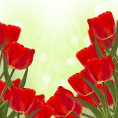 Fresh red tulips on green background — Stock fotografie