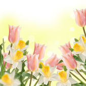 Postcard with fresh flowers daffodils and tulips — Stock Photo