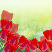 Postcard with red tulips — Stock fotografie
