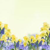 Postcard with fresh daffodils and muscaries — Stock Photo