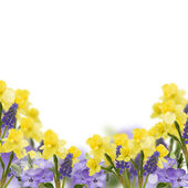 Background with fresh daffodils and muscaries — 图库照片