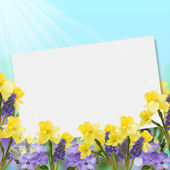 Background with fresh narcissus and muscaries — Stock Photo