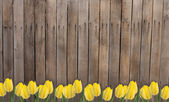 Old wooden fence and yellow tlips — Stock Photo