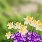 Postcard with narcissus and crocuses — Stockfoto