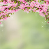 Postcard with fresh spring flowering bush almond — Stock Photo