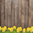 Stock Photo: Old wooden fence and yellow tlips