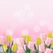 Fresh tulips on pink background. — Stock Photo