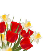 Fresh red tulips and narcissus — Stock Photo