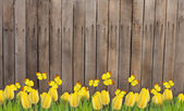 Wooden fence with yellow tulips and butterflies — Stock Photo