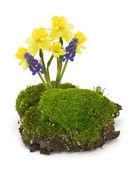 Moss, daffodils, muscaries — Zdjęcie stockowe