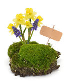 Moss, and daffodils — Stockfoto