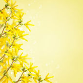 Postcard with fresh flowers forsythia — Foto Stock