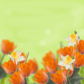 Postcard with tulips and daffodils — Photo