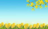 Background with yellow tulips and forsythia flowers — 图库照片