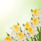 Postcard with fresh flowers daffodils  and empty  place for your — Stockfoto