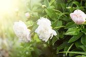 Fresh spring flowers — Stock Photo