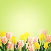 Fresh tulips on green background. — Стоковое фото