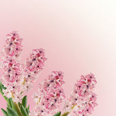 Postcard with fresh hyacinthes — Stockfoto