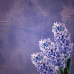 Fresh hyacinths — Stock Photo #43364153
