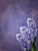 Fresh hyacinths — Stock Photo