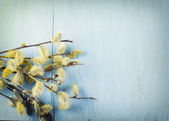 Willow flowers — Stockfoto
