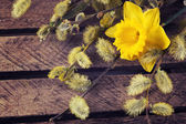 Willow and daffodil — Stockfoto
