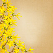 Fresh flowers forsythia — Stockfoto