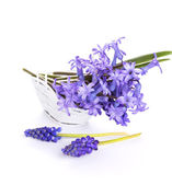 Fresh scilla flowers — Stock Photo