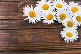 Daisy flowers — Stock Photo