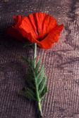 Papaver flower — Stock Photo