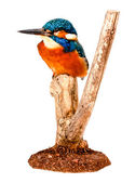 Kingfisher bird — Stock Photo