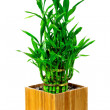 Stock Photo: Bamboo house plant