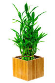 Bamboo house plant — Stock Photo