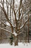 Karla kaplı çam gövde — Stok fotoğraf
