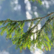 Fir tree branch against the sun - Stock Photo