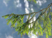 Fir tree branch against the sun — Stock Photo