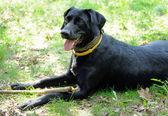 černý pes žlutě proti blecha psí obojek — Stock fotografie