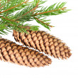 Cone on fir branch — Stock Photo