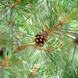 Pine branches with cones — Stock fotografie