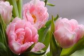 Tulips in drops of water — Foto de Stock