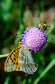 Butterfly and bumble bee — Stock Photo