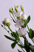 Eustoma — Foto Stock