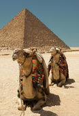 Camels and pyramid — Stock Photo