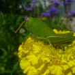 Grasshopper on a flower. — Stock Photo