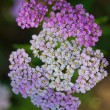 Achillea — Stock Photo #44766273