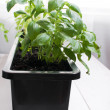 Potted basil indoors — Stock Photo